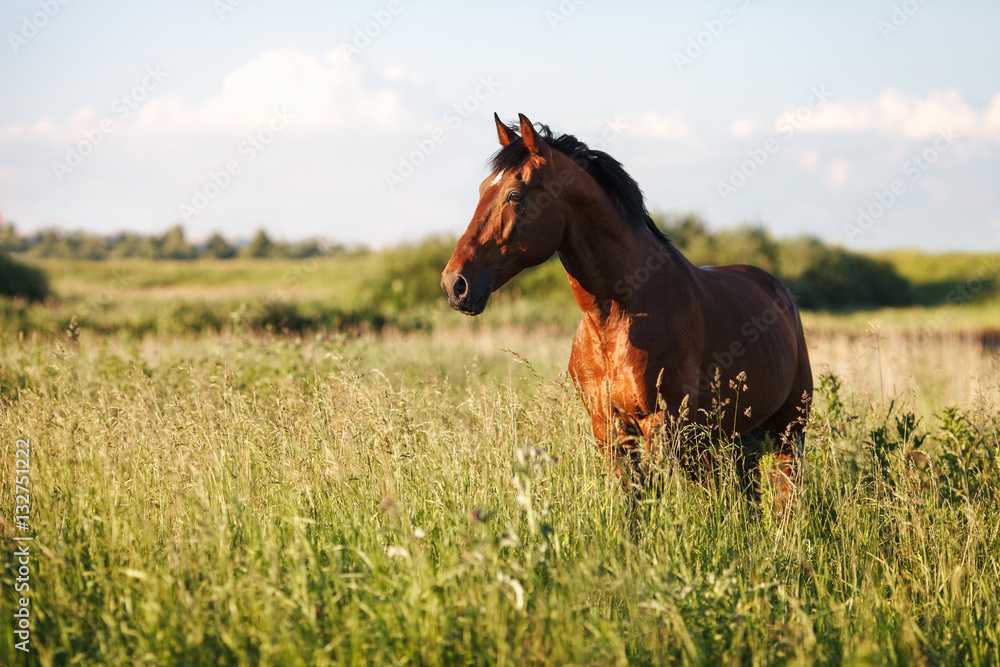 Fototapety, obrazy: Portrait of a bay horse in the tall grass in the summer