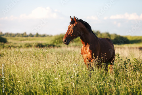 Poster Paarden Portrait of a bay horse in the tall grass in the summer