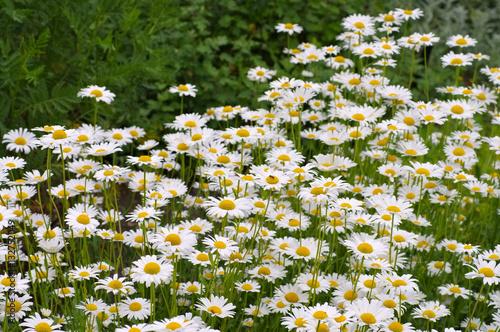In de dag Madeliefjes Magerwiesen-Margerite - Leucanthemum vulgare, the ox-eye daisy
