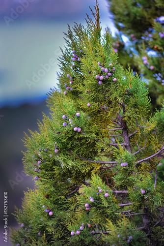 juniper forest berries
