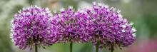 Allium Giganteum - Zierlauch -...