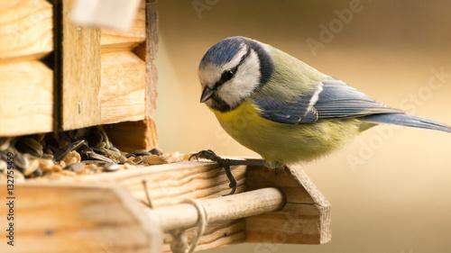 Pinturas sobre lienzo  Blaumeise an einem Vogelhaus