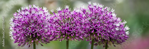 Tablou Canvas Allium giganteum - Zierlauch - Riesenlauch