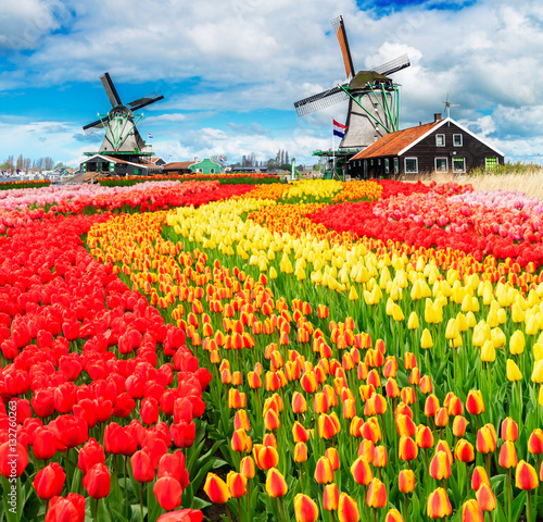 Photo  two traditional Dutch windmills of Zaanse Schans and rows of tulips, Netherlands