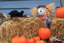 Scarecrow Surprised By Crow Eating Corn Under His Watch