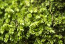 Macro Of White Frok Moss. (Leu...