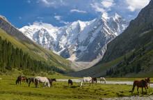 Wild Horses On A Sunny Meadow ...