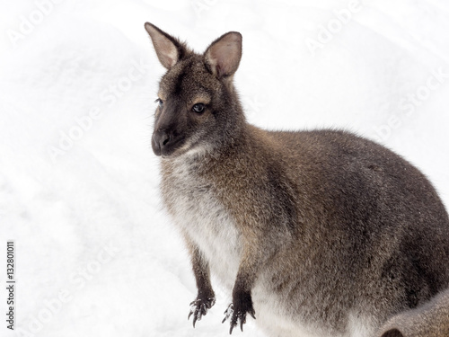 Bennett's wallaby, Macropus rufogriseus is surprised by snow