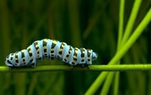 Blue Caterpillar Alone And Lov...