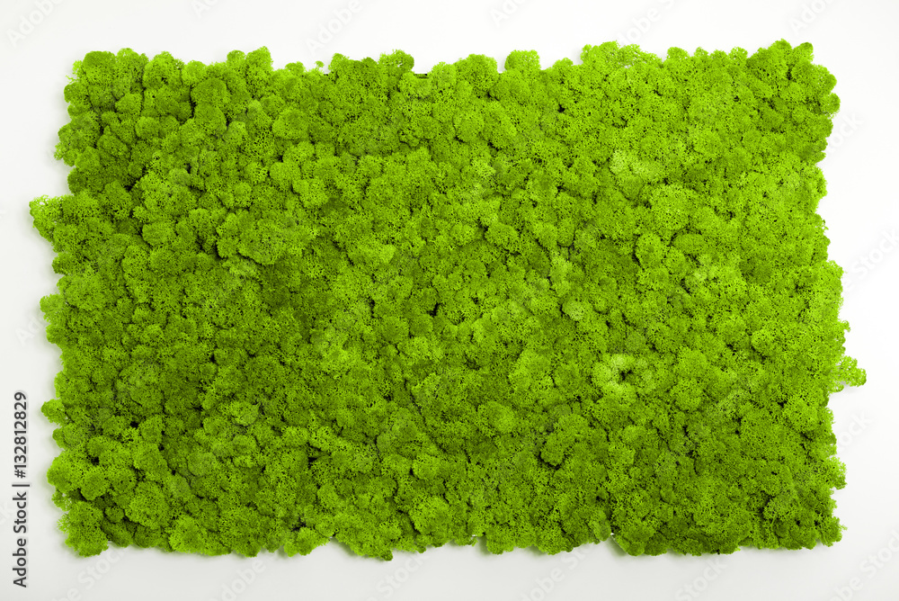 Fototapety, obrazy: Reindeer moss wall, green wall decoration made of reindeer lichen Cladonia rangiferina, recolored to match Pantone 15-0343c, color of the year 2017, isolated on white, usable for interior mock ups