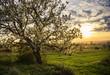 canvas print picture - Blühender Kirschbaum im Mai bei Sonnenuntergang