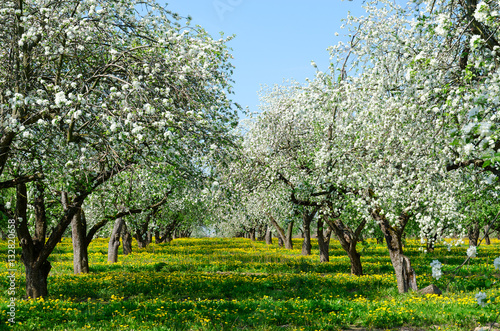 Valokuva  Blossoming apple orchard