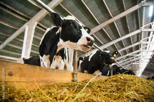 Aluminium Prints Cow Cows in a farm. Dairy cows
