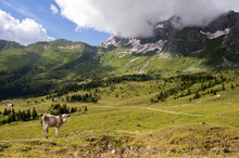 A Cow Grazing In The Plateau Of Montasio, In Eastern Alps. Italy.