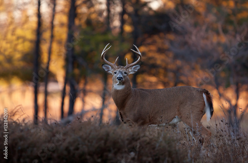 White-tailed deer buck at sunset in autumn rut in Ottawa, Canada