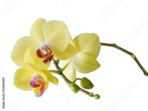 zolty-kwiat-orchidei-z-bliska-na-bialym-tle