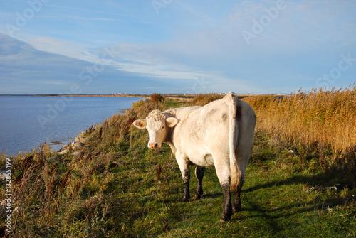 Fotografia, Obraz  White cow by the coast