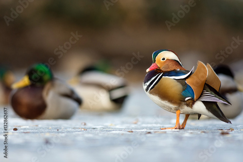 Beautiful mandarin duck on the frozen lake in a park