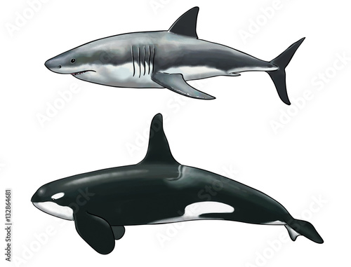 Valokuva  Digital watercolor of a comparison between a killer whale and a