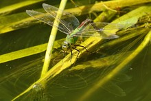 Emperor Hawker Dragonfly  (Aeshnidae) On Pond Reed