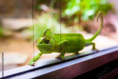 Chameleon in glass terrarium