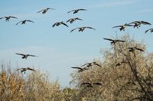 Flock Of Canada Geese Coming I...