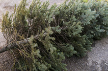 Old Christmas Tree. End Of Christmas. Old Discarded Christmas Tree.