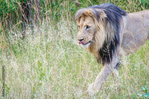 Photo  Male lion and its fresh kill