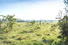 Savannah Landscape With Some Zebras Grazing