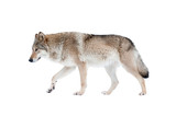 wolf isolated over a white background - 132891893