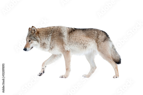 Photo sur Toile Loup wolf isolated over a white background