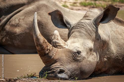 In de dag Neushoorn White rhino relaxing in the water.