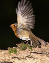 European Robin, Erithacus Rubecula