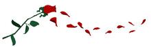Flying Rose Petals On Transpar...