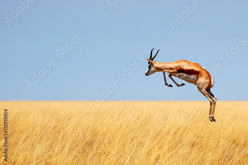 Garden Poster Antelope Springbok jumping over savanna in Etosha National Park, Namibia