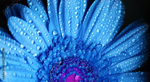 Gerbera flower close up beautiful macro photo with drops of rain edited colors