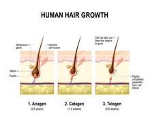 Hair Growth. Anagen, Catagen And Telogen