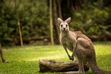 Kangaroo Looking At The Camera