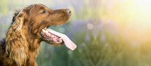Web Banner Of A Drooling Irish Setter Dog As Panting In A Hot Summer