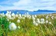 Scheuchzers Wollgras (Eriophorum scheuchzeri) Alpen-Wollgras am Ufer des Fjordes Ísafjarðardjúp / Isafjardadjup, dahinter Halbinsel Strandir mit Gletscher Drangajökull, Vestfirðir, Island, Europa
