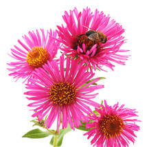 Bee On Pink Flowers.