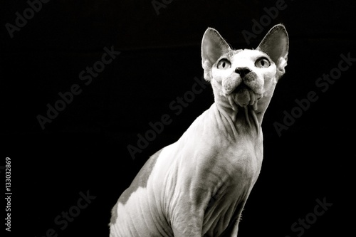 Photo  Beyonce.  Sphynx Cat. Focused.  Black and White
