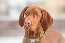 Hungarian Vizsla Dog Portrait ...