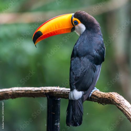 Foto op Plexiglas Toekan Toucan (Ramphastos toco) sitting on tree