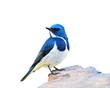 Ultramarine Flycatcher (superciliaris ficedula) the beautiful bl