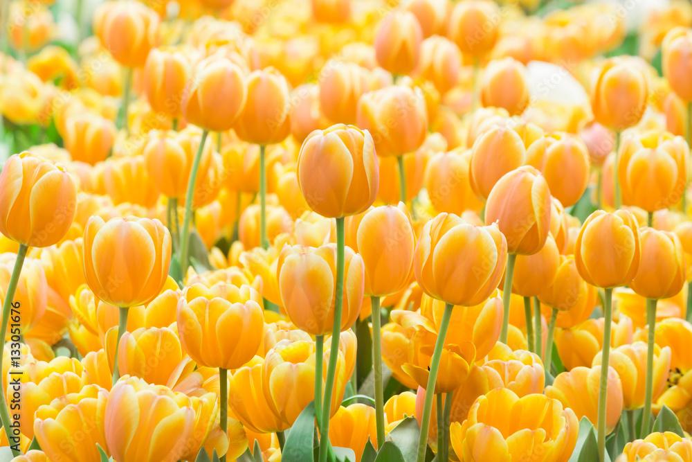 Fototapety, obrazy: Tulipany żółte