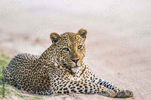 Spoed Foto op Canvas Luipaard Leopard in Yala national park, Sri Lanka