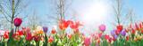Fototapeta Tulips - Glück, Lebensfreude, Frühlingserwachen, Leben: Buntes, duftendes Blumenfeld im Frühling :)