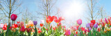 Fototapeta Tulipany - Glück, Lebensfreude, Frühlingserwachen, Leben: Buntes, duftendes Blumenfeld im Frühling :)