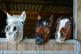 Fototapeta Konie - Funny horses in their stable